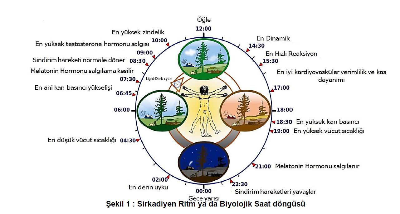 Şekil 1 : Sirkadiyen Ritm ya da Biyolojik Saat döngüsü